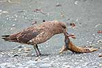 Skua killing and eating rabbit
