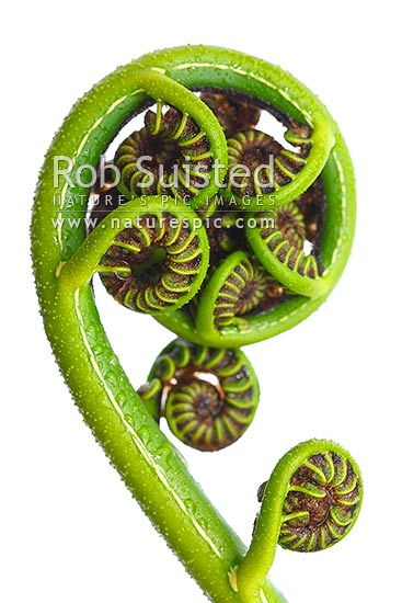 New Zealand Fern koru - the growing unfurling frond tip of the Black tree fern (Cyathea medullaris), or Mamaku, New Zealand (NZ) stock photo.