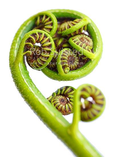 new zealand fern koru the growing unfurling frond tip of
