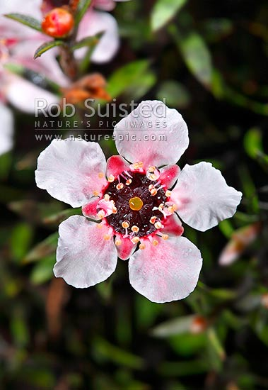 Native Manuka flowers (Leptospermum scoparium) - Red tea tree. Source of Manuka Honey, New Zealand (NZ) stock photo.