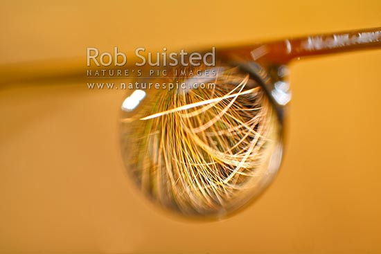 Rain water droplet hanging on native red tussock grass leaves (Chionochloa rubra) and reflecting plant in water bead, New Zealand (NZ) stock photo.