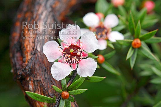 Manuka flower or Leptospermum scoparium