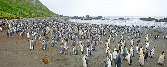 Panorama of King penguins breeding colony on Sandy Bay beach (Aptenodytes patagonicus). Adult, young, nesting and jusvenile birds, Macquarie Island, NZ Sub Antarctic District, NZ Sub Antarctic Region, Australia stock photo.