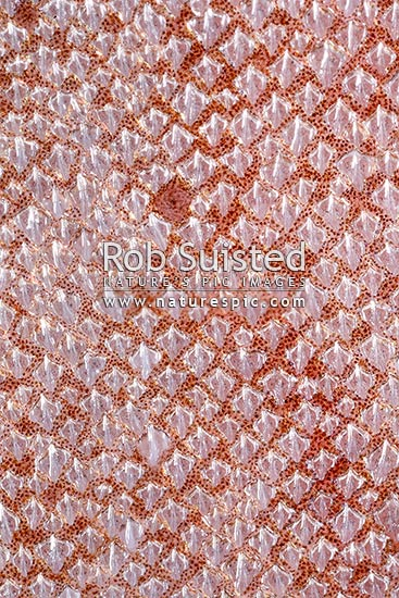 Close up of dermal denticles or placoid scales on the surface skin of shark nose. Spiny dogfish (Squalus acanthias, Squalidae). Natural pattern texture, New Zealand (NZ) stock photo.