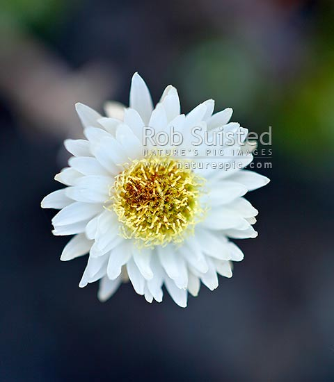 Everlasting daisy, or New Zealand Strawflower (Helichrysum bellidioides, Asteraceae), or paper daisies, New Zealand (NZ) stock photo.