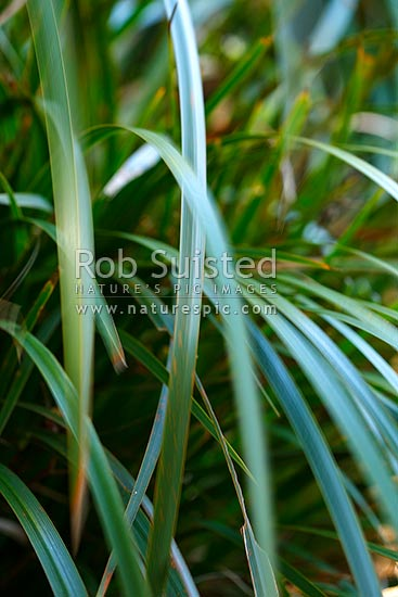 Abstract image of wind moving fronds of native New Zealand Iris (Libertia ixioides) in forest, New Zealand (NZ) stock photo.