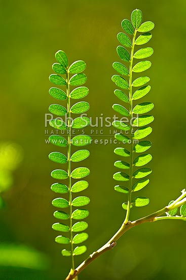 Close up of Kowhai leaves and branch in sunlight (Sophora sp. Fabaceae), New Zealand (NZ) stock photo.