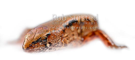 New Zealand native Ornate Skink (Cyclodina ornata), Wellington, New Zealand (NZ) stock photo.