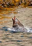 Fur Seal Leaping from water