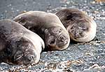 Three elephant seal pups