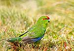 Brightly coloured Kakariki