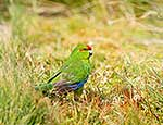 Brightly coloured Parakeet
