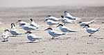 White fronted terns