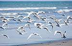 Terns taking off from beach