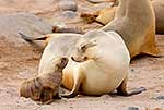 NZ Sea lion mum and pup
