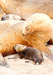 Female Sea Lion nursing pup