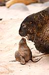 Adult Sea Lion Bull Bullying pup