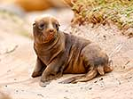 NZ sea lion newborn