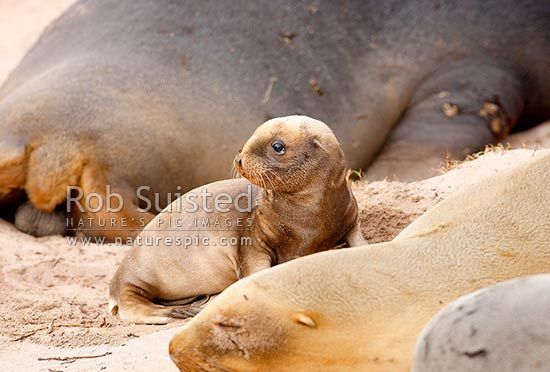 Newborn New Zealand (Hooker's) Sea lion pup playing in colony at Sandy Bay (Phocartos hookeri), Enderby Island, Auckland Islands, NZ Sub Antarctic District, NZ Sub Antarctic Region, New Zealand (NZ) stock photo.