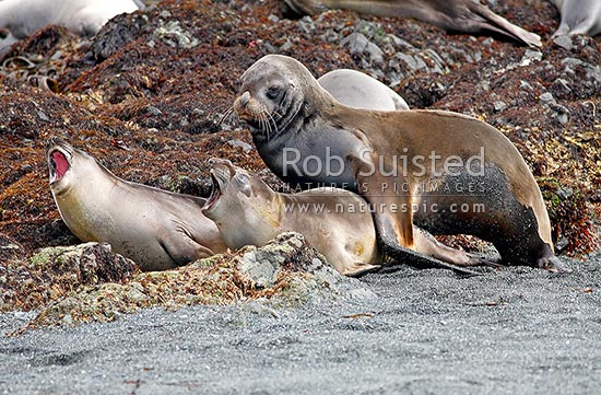 Sub adult male bull New Zealand Sea lion (Hooker's) (Phocartos hookeri) holding and mating with newborn Southern Elephant seals (Mirounga leonina) in Hasselborough Bay, Macquarie Island, NZ Sub Antarctic District, NZ Sub Antarctic Region, Australia stock photo.