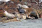 NZ Sealion mating elephant seals
