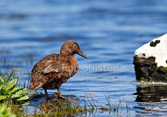 Auckland Island flightless teal (Anas a. aucklandica) feeding on lake edge, Enderby Island, Auckland Islands, NZ Sub Antarctic District, NZ Sub Antarctic Region, New Zealand (NZ) stock photo.