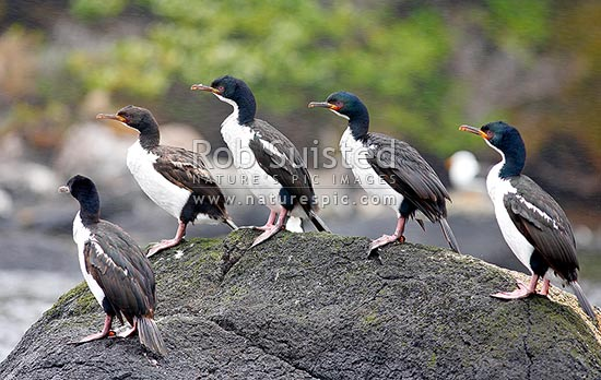 Auckland Island shags (Leucocarbo colensoi) sitting on rock. Cormorants, Auckland Islands, NZ Sub Antarctic District, NZ Sub Antarctic Region, New Zealand (NZ) stock photo.