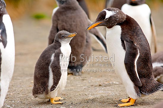 Adult Gentoo Penguin and chick in creche (Pygoscelis papua), Macquarie Island, NZ Sub Antarctic District, NZ Sub Antarctic Region, Australia stock photo.
