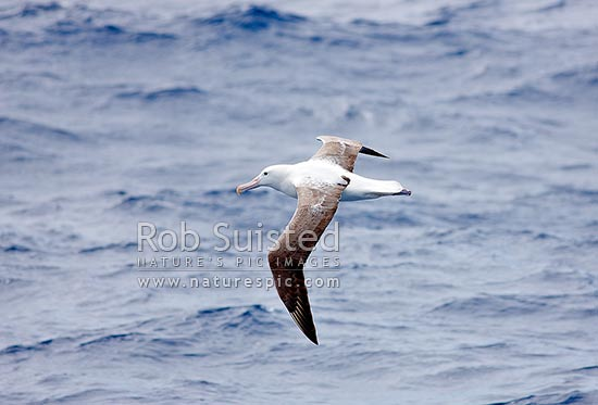 Southern Royal Albatross flying over sea (Diomedea epomophora Diomedeidae), Southern Ocean, NZ Sub Antarctic District, NZ Sub Antarctic Region, New Zealand (NZ) stock photo.