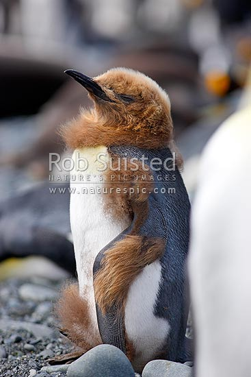 King Penguin chick moulting fluffy brown down into juvenile plummage (Aptenodytes patagonicus). Bad hair day, Macquarie Island, NZ Sub Antarctic District, NZ Sub Antarctic Region, Australia stock photo.