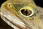 Tuatara lizard Eye, NZ native