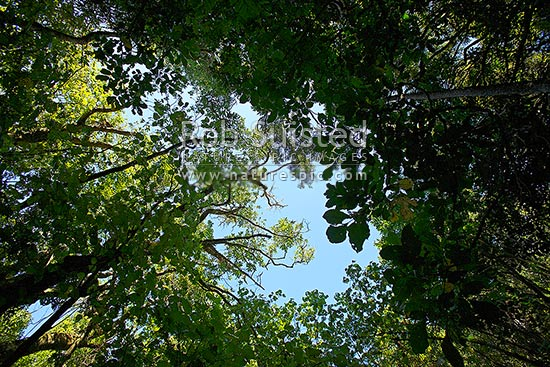 Looking up through the forest canopy of NZ native coastal broadleaf forest, mainly of Kohekohe trees (Dysoxylum spectabile), Waikanae, Kapiti Coast District, Wellington Region, New Zealand (NZ) stock photo.