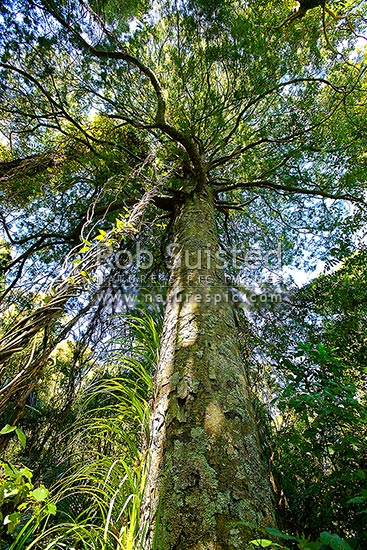 Native Nz Kahikatea Tree Coniferous Endemic Grows To 55
