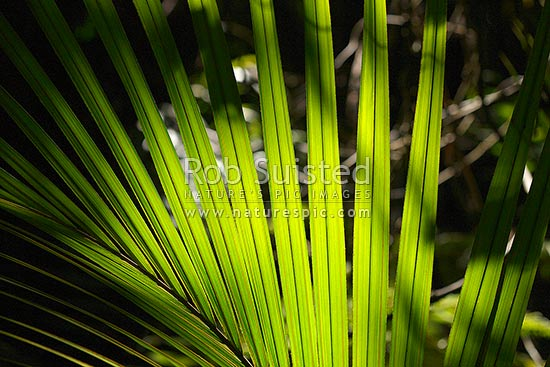 Nikau Palm leaf blades in forest sunlight creating beautiful abstract curved radial fan like patterns (Rhopalostylis sapida; Arecaceae), New Zealand (NZ) stock photo.
