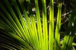 NZ Nikau palm leaves in sun