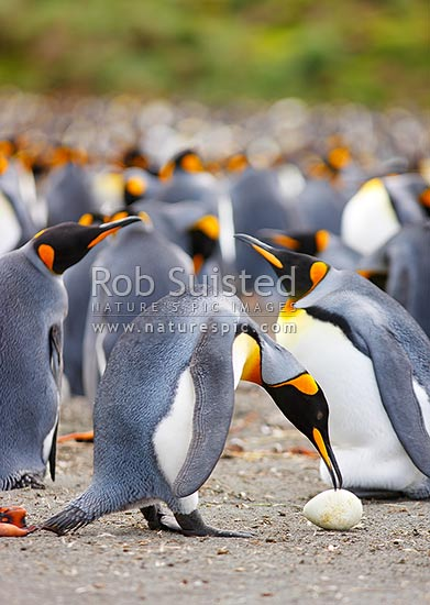 King penguins breeding colony with an adult bird investigating an abandoned egg (Aptenodytes patagonicus) Spheniscidae, Macquarie Island, NZ Sub Antarctic District, NZ Sub Antarctic Region, Australia stock photo.
