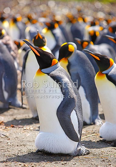 King penguins breeding colony with adults nesting and incubating eggs (Aptenodytes patagonicus) Spheniscidae, Macquarie Island, NZ Sub Antarctic District, NZ Sub Antarctic Region, Australia stock photo.