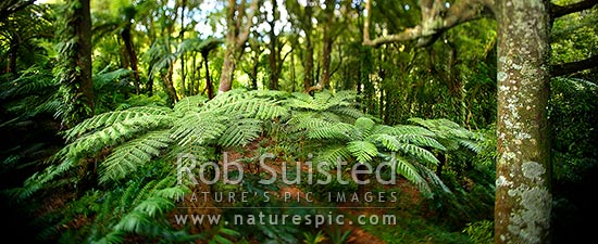 Inside NZ bush with tree ferns (Cyathea smithii) and Tawa tree (Beilschmiedia tawa). Panorama with shifted focus giving a dreamy look, Wellington, New Zealand (NZ) stock photo.