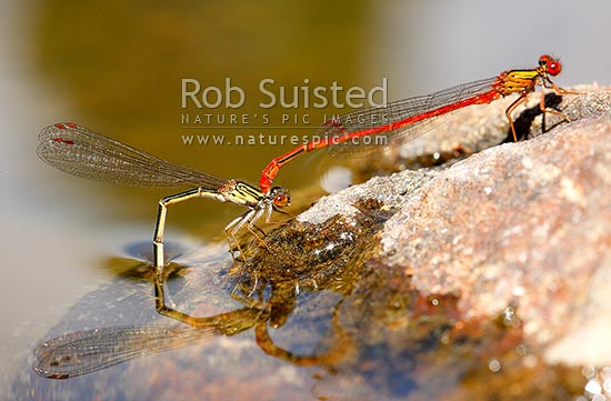 NZ Redcoat Damselfly (Xanthocnemis zealandica) in tandem hold with female (left) ovipositing eggs into freshwater after mating, New Zealand (NZ) stock photo.