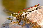 NZ Damselfly mating behaviour