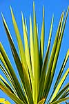 Spikey leaves of cabbage tree