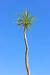 Top of lone cabbage tree