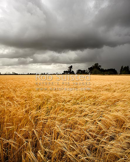 Wheat or barley grain field growing under heavy moody approaching rain clouds, Levin, Horowhenua District, Manawatu-Wanganui Region, New Zealand (NZ) stock photo.