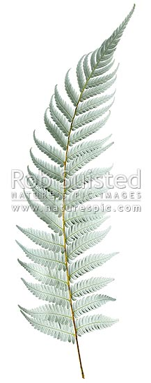New Zealand Silver fern tree fern leaf underside on white clear background, native Ponga (Cyathea dealbata), New Zealand (NZ) stock photo.