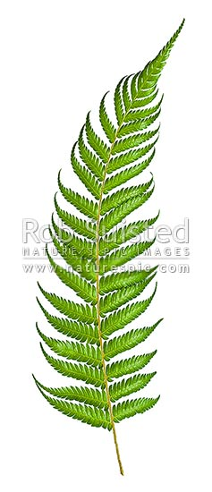 New Zealand Silver fern tree fern leaf topside on white clear background, native Ponga (Cyathea dealbata), New Zealand (NZ) stock photo.
