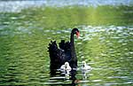 Native black swan with cygnets