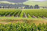 Vineyard, Waipara