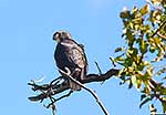 NZ native Falcon