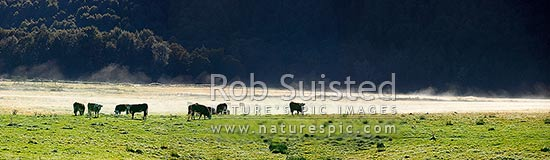 Hereford cattle and mist rising off frosty pastures with native bush behind. Panorama, Glenorchy, Queenstown Lakes District, Otago Region, New Zealand (NZ) stock photo.