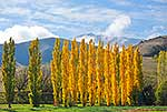 Autumn coloured Poplar trees